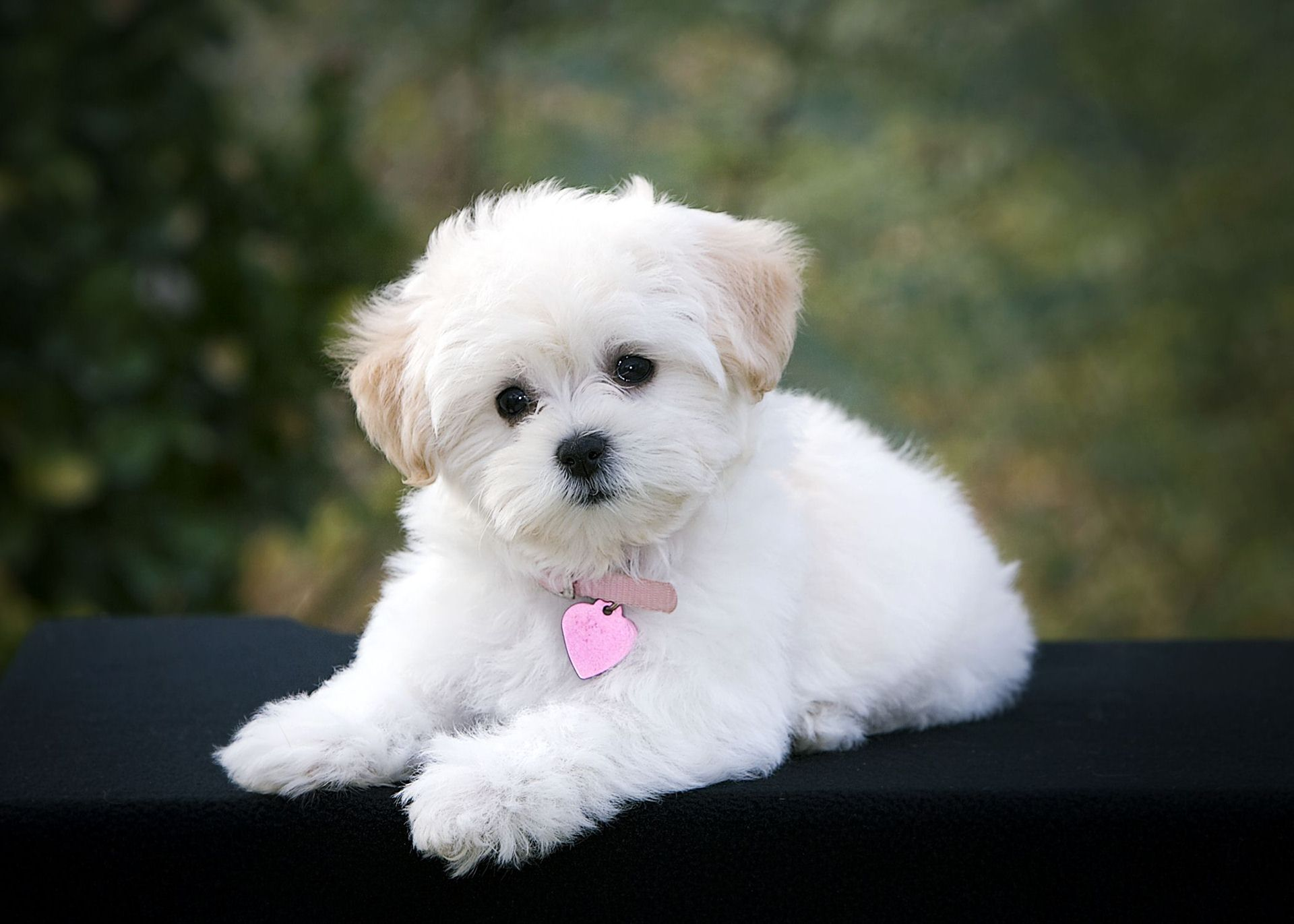 Poodle puppies wallpapers