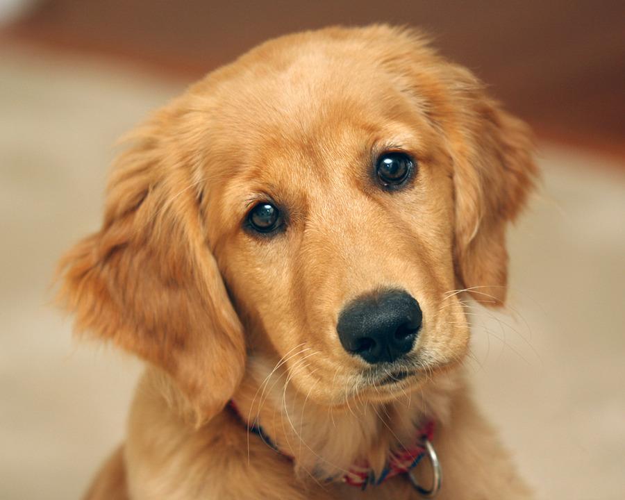Puppies golden retriever cute wallpapers