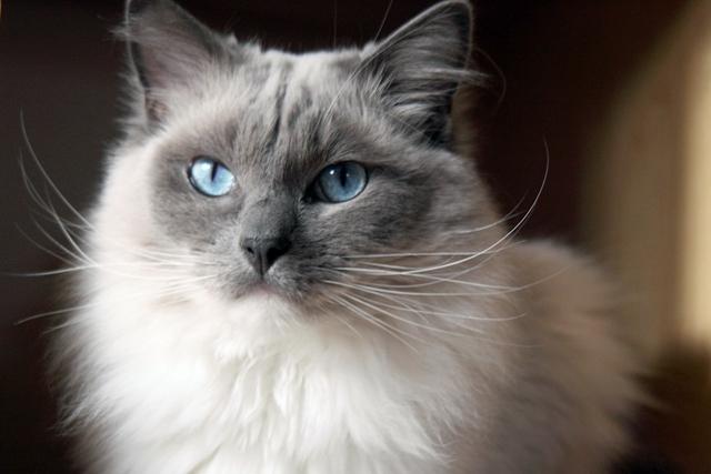 Ragdoll cat face photos