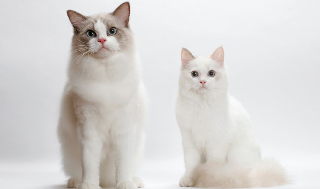 Ragdoll cat family photos