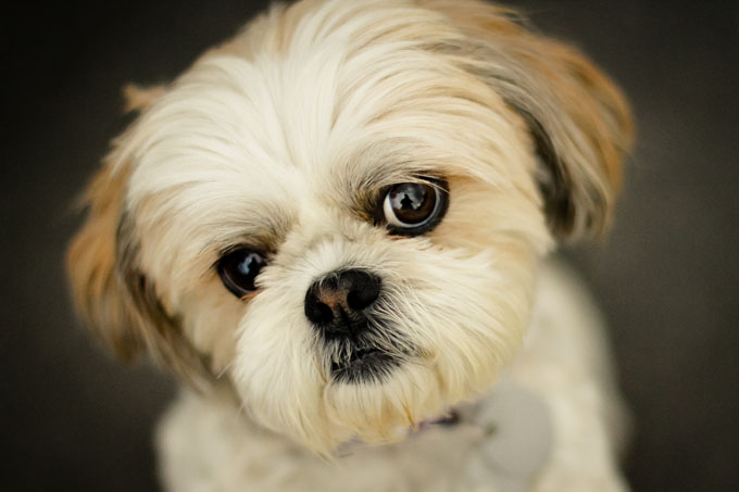 Shih tzu puppies face gallery
