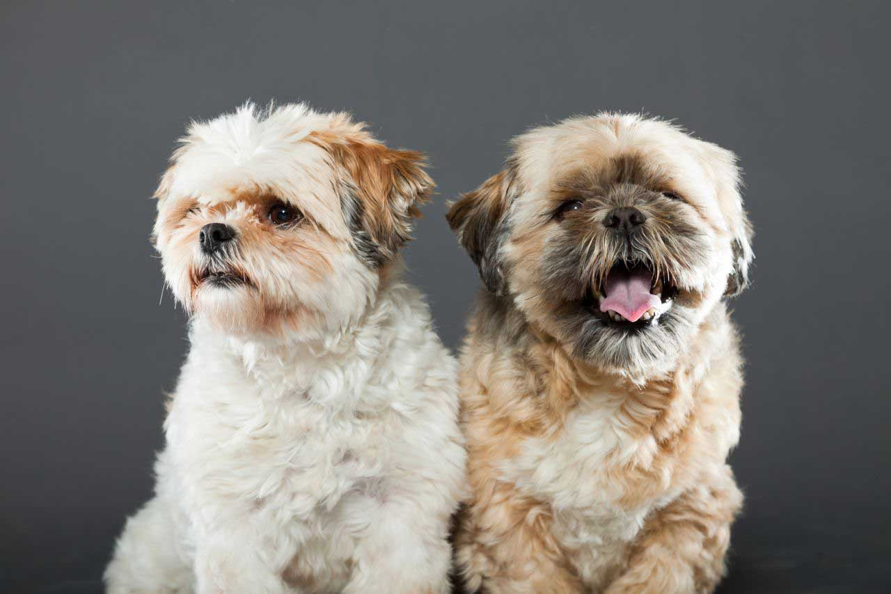 Shih tzu two puppies images