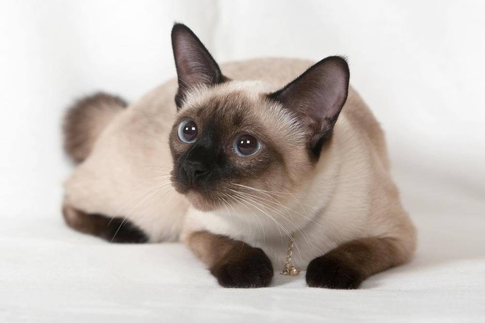 Siamese cat animals images