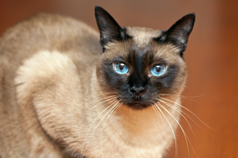 Siamese cat cute wallpapers