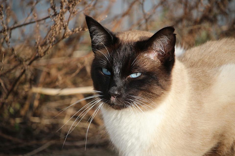 Siamese cat face photos