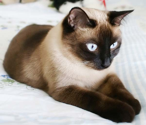 Siamese cat wallpapers