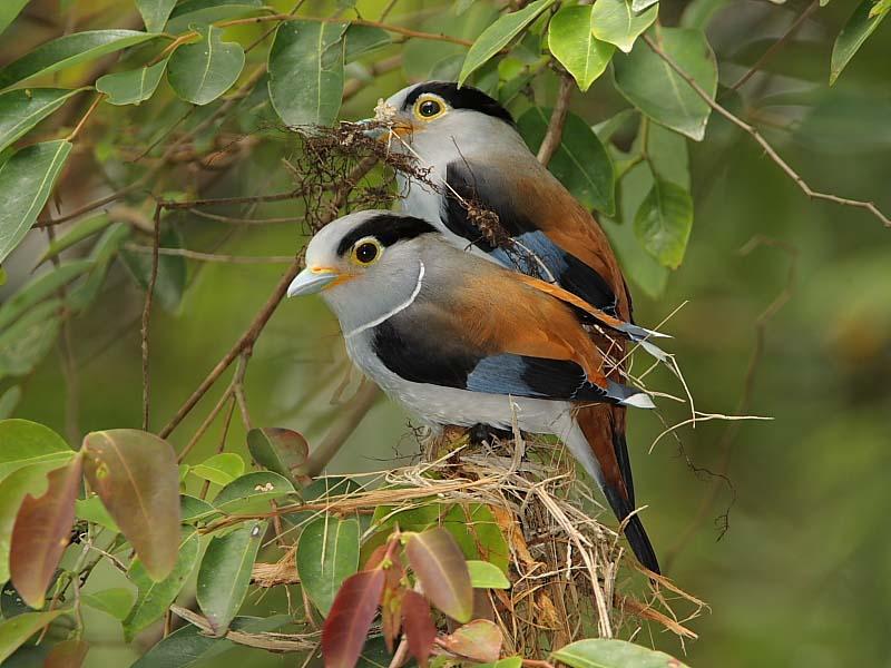 Silver breasted broadbill birds