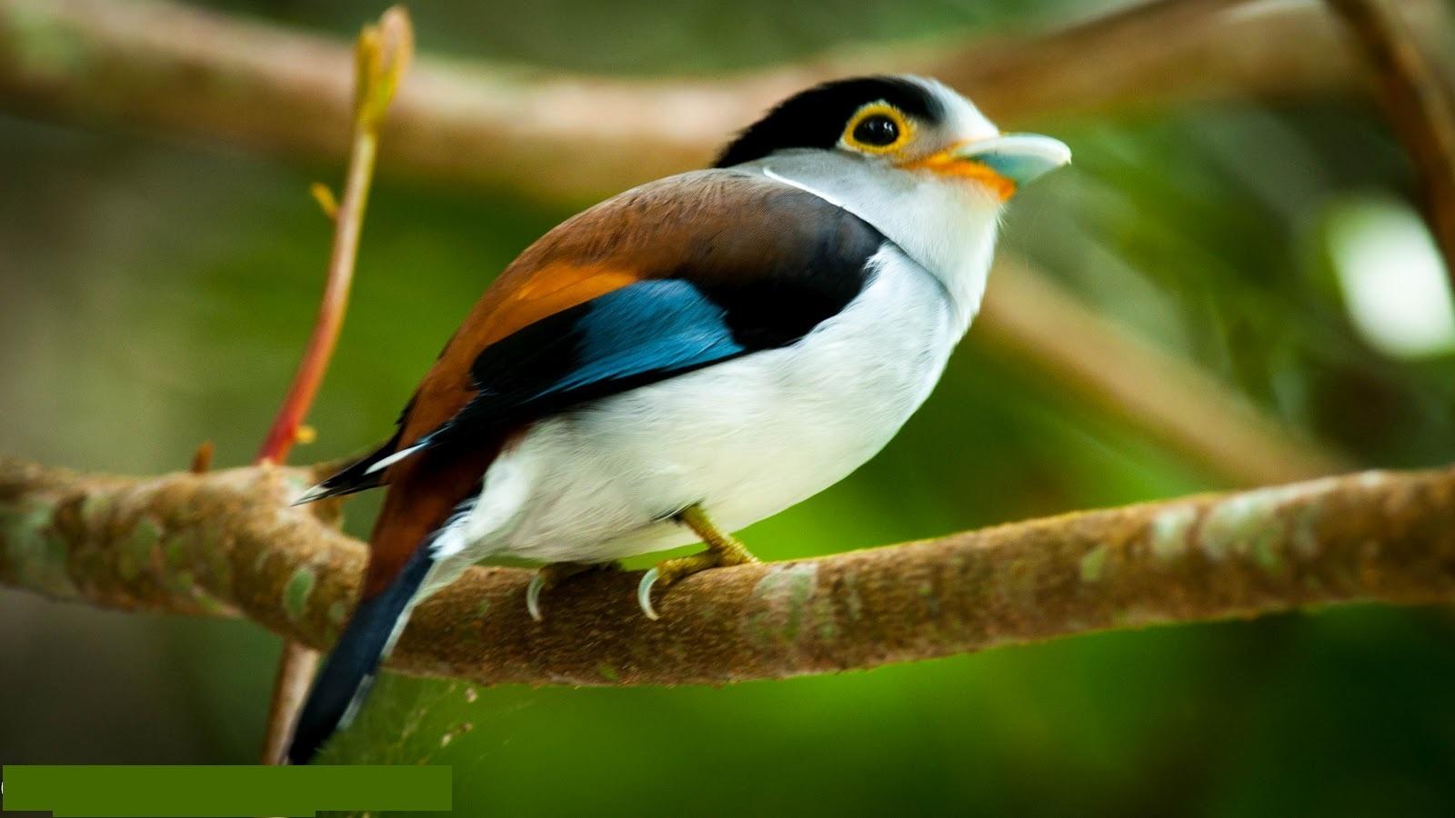 Silver breasted broadbill cute bird