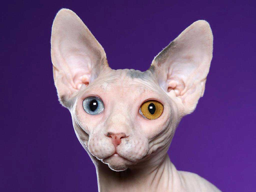 Sphynx cat face photos