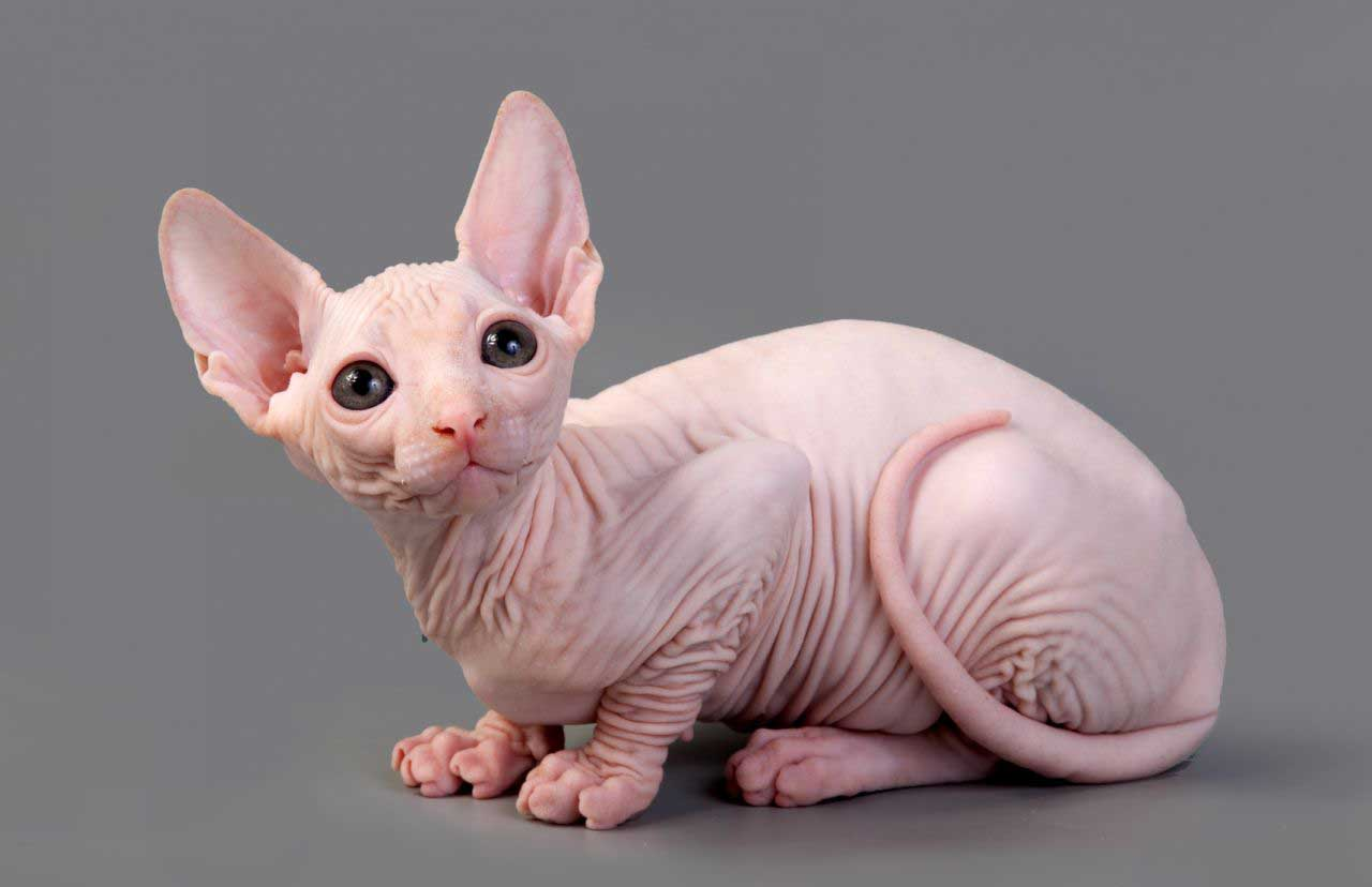 Sphynx cat hairless photos