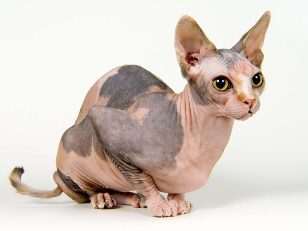 Sphynx cat images