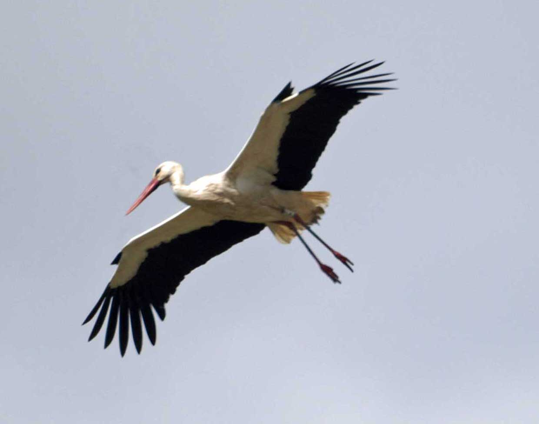 Stork bird pictures