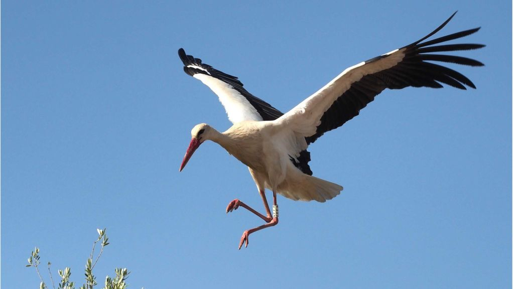 Stork flying pictures