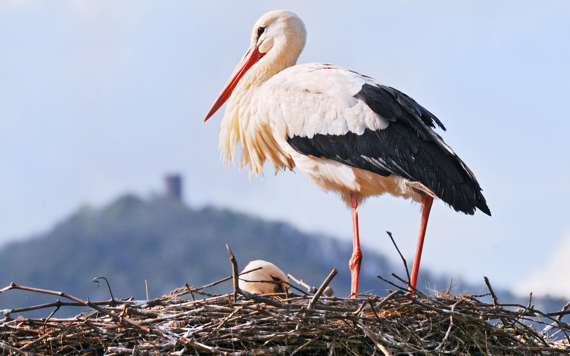Stork pictures