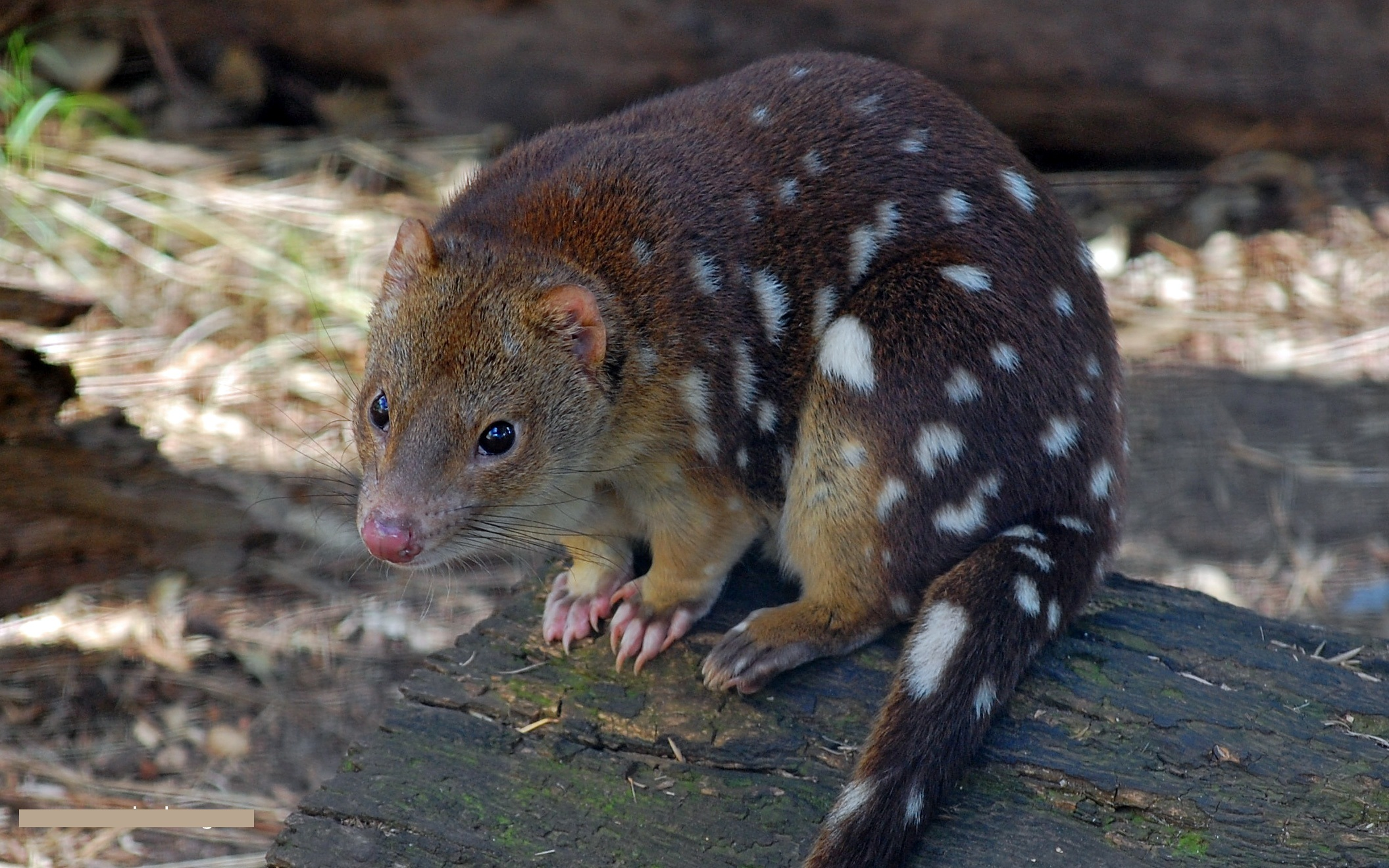 Tiger quoll australian animal pictures