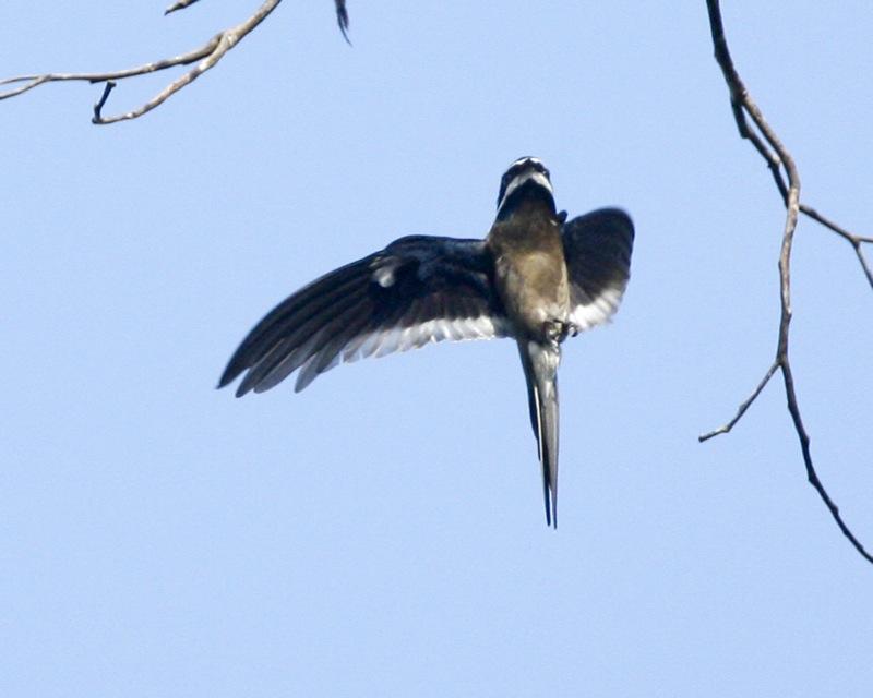Whiskered treeswift bird flying photos
