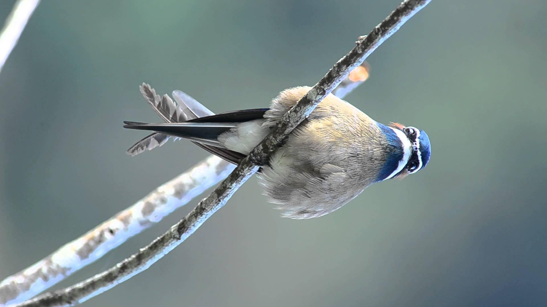 Whiskered treeswift bird photos