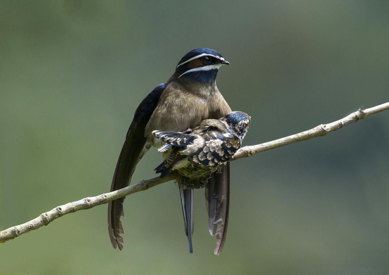 Whiskered treeswift bird stills