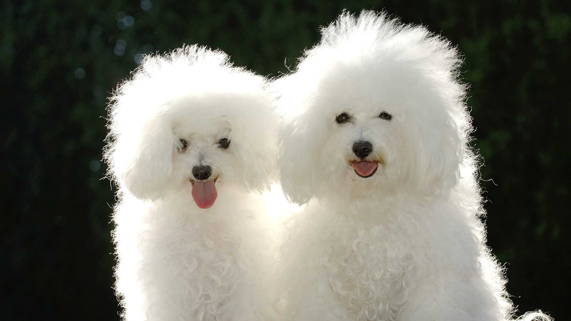 White poodle pictures