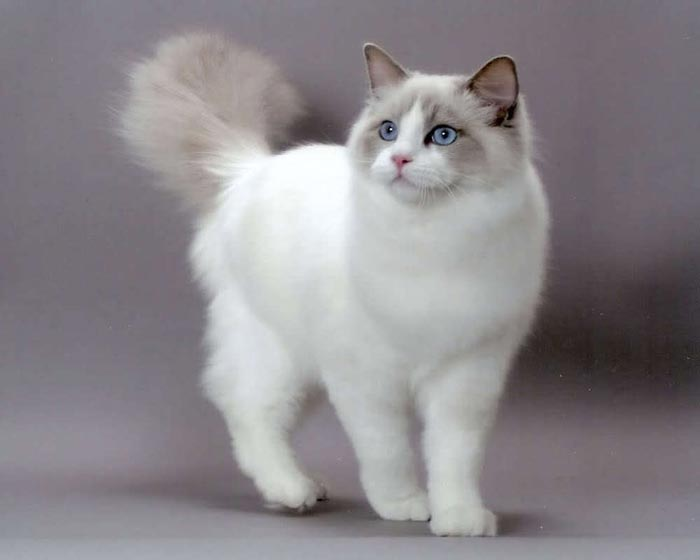 White ragdoll cat pictures