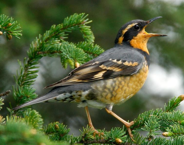 Wood thrush bird cute photos
