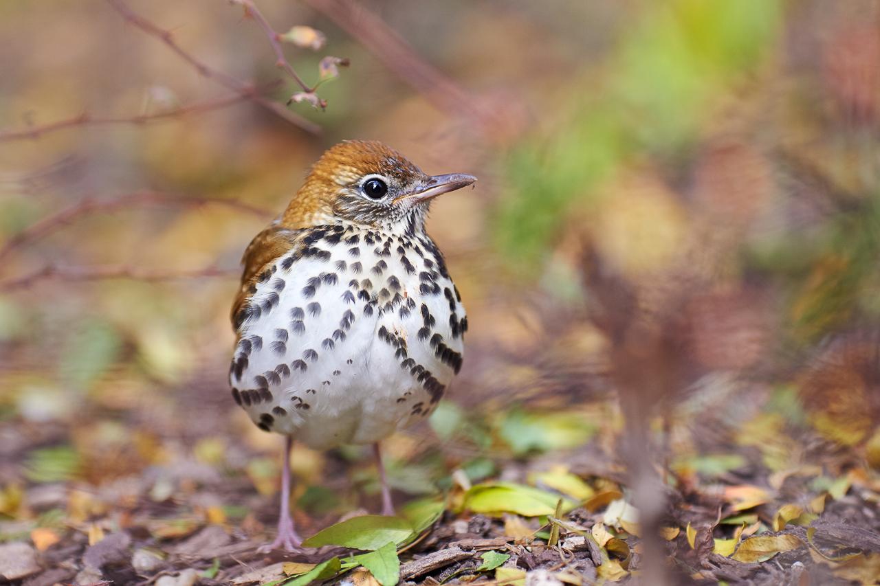 Wood thrush bird image