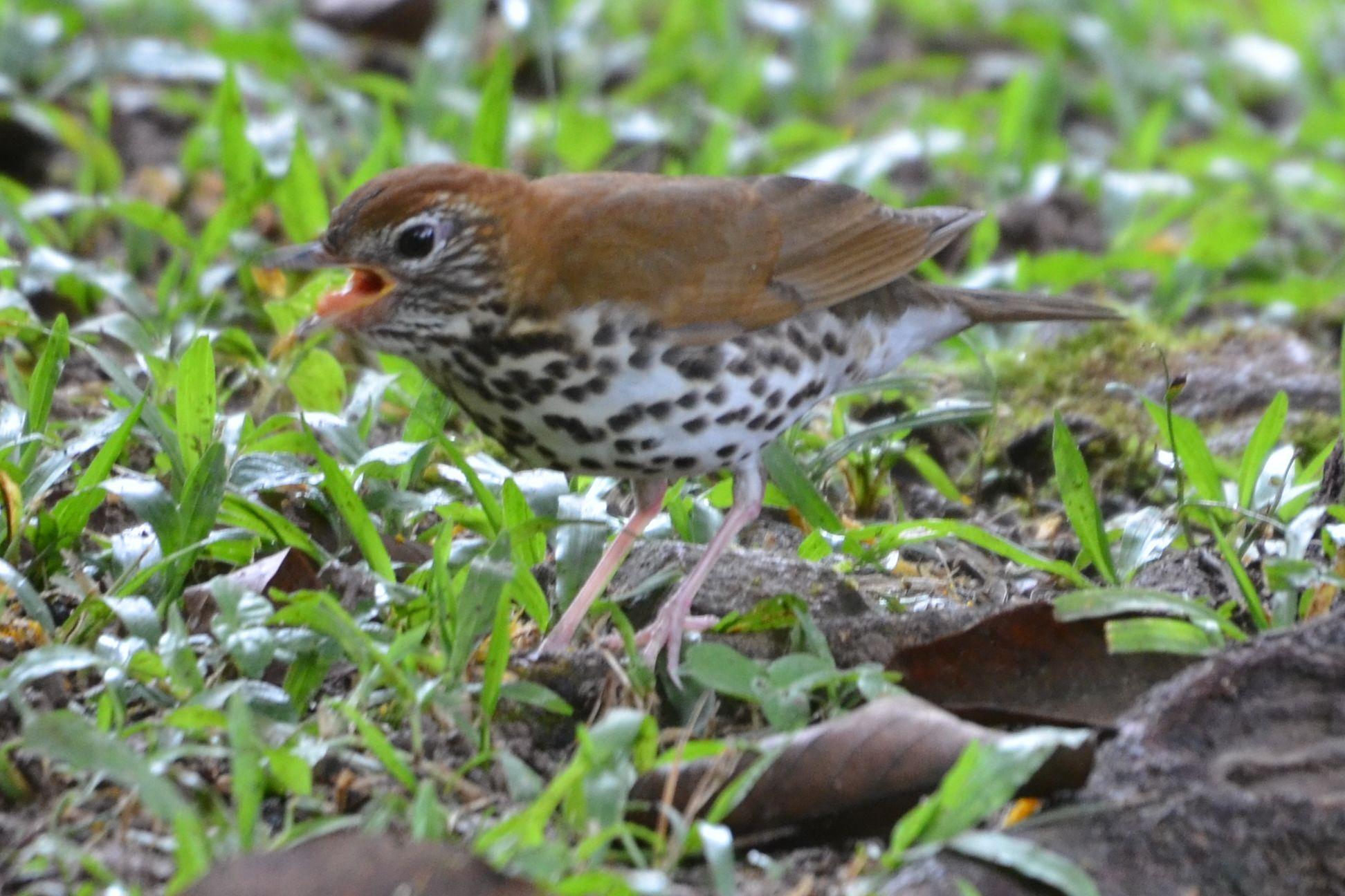 Wood thrush bird photos