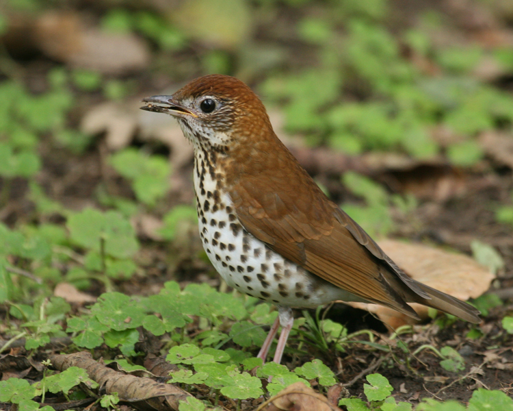 Wood thrush gray color bird pictures