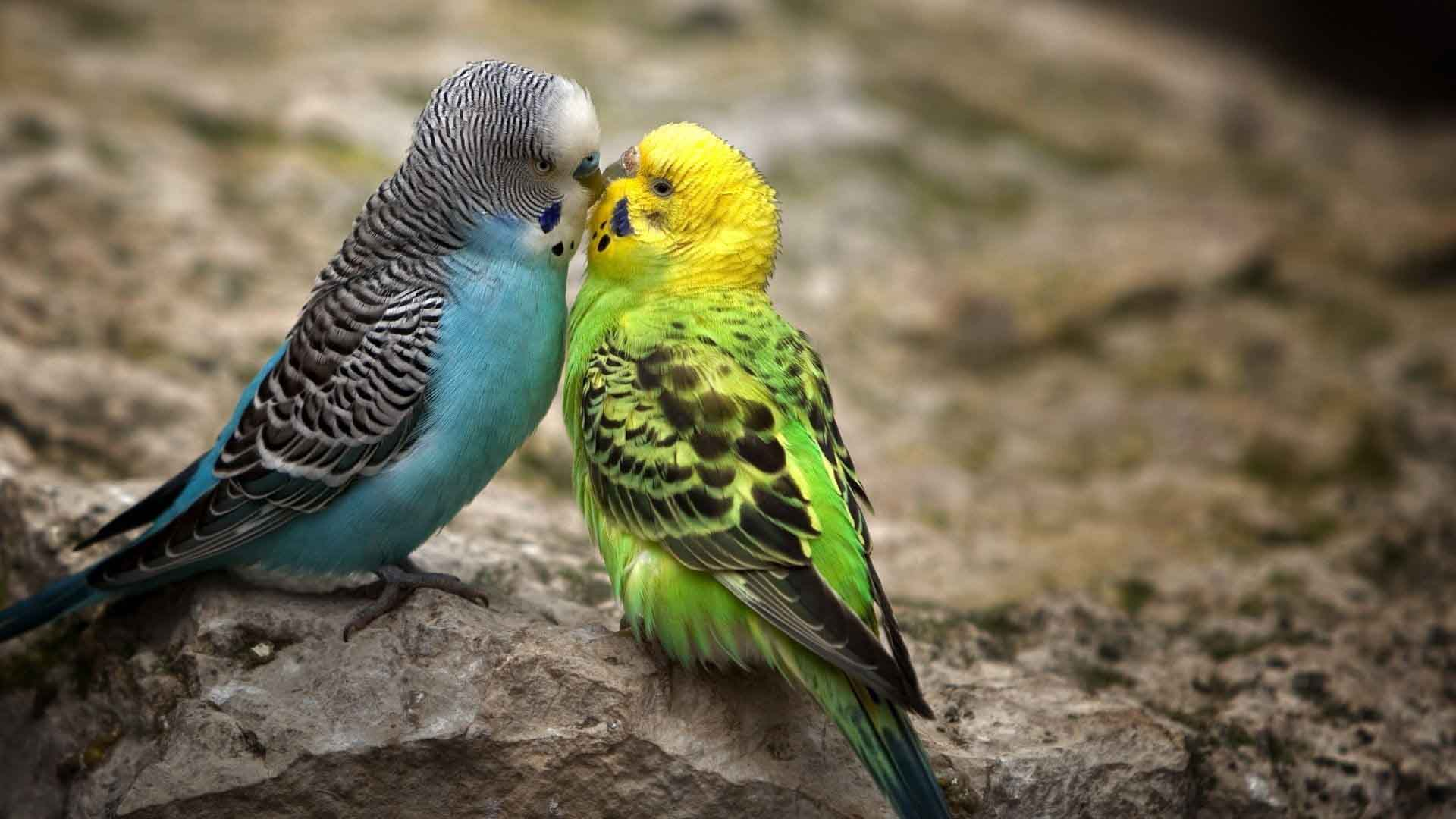 Australian budgerigar wallpapers