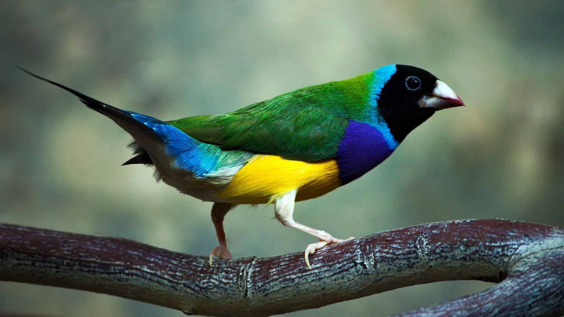 Australian gouldian finch wallpapers