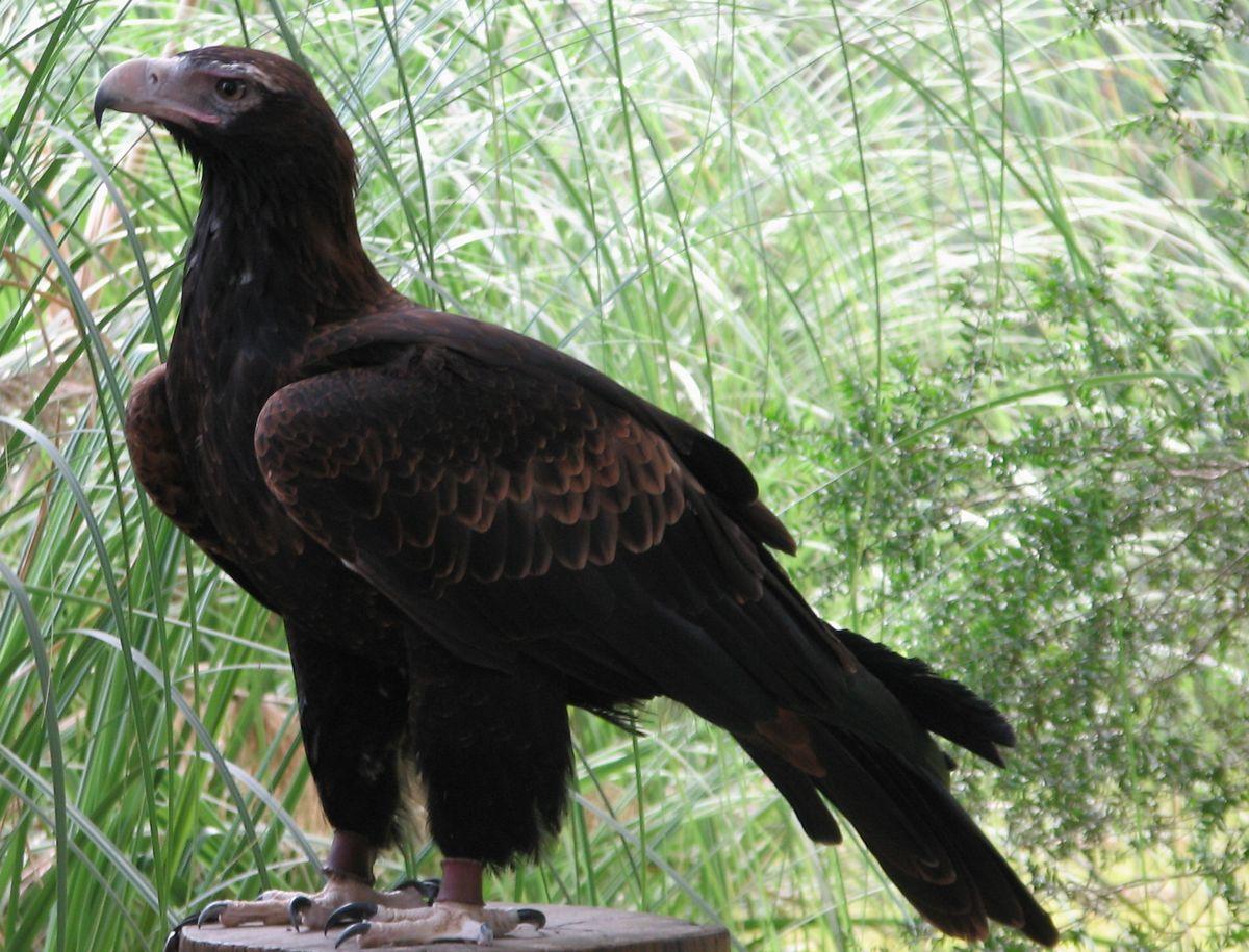 Australian wedge tailed eagle photos