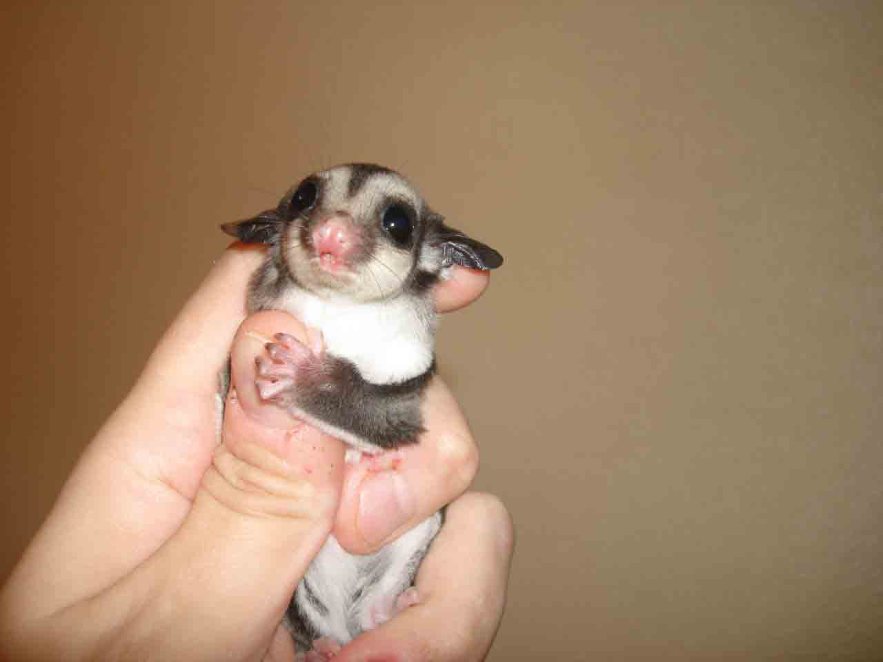 Baby sugar glider animal gallery
