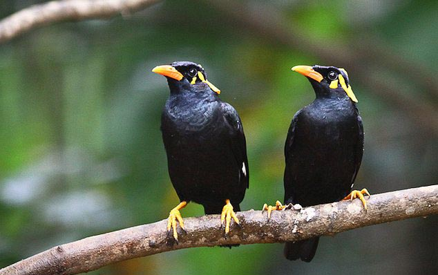Bastar hill myna family pictures