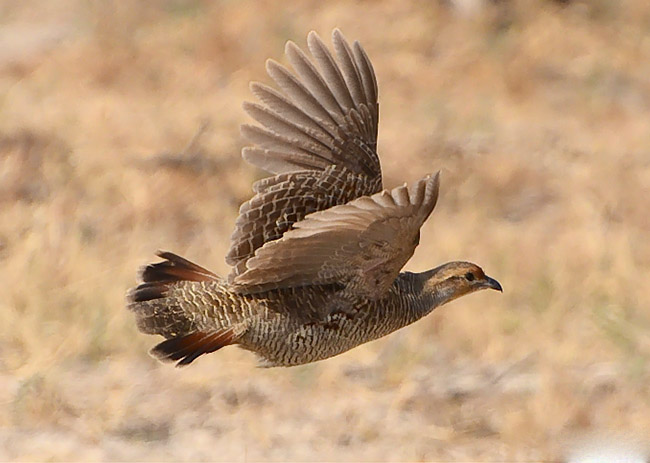 Black francolin flying pictures