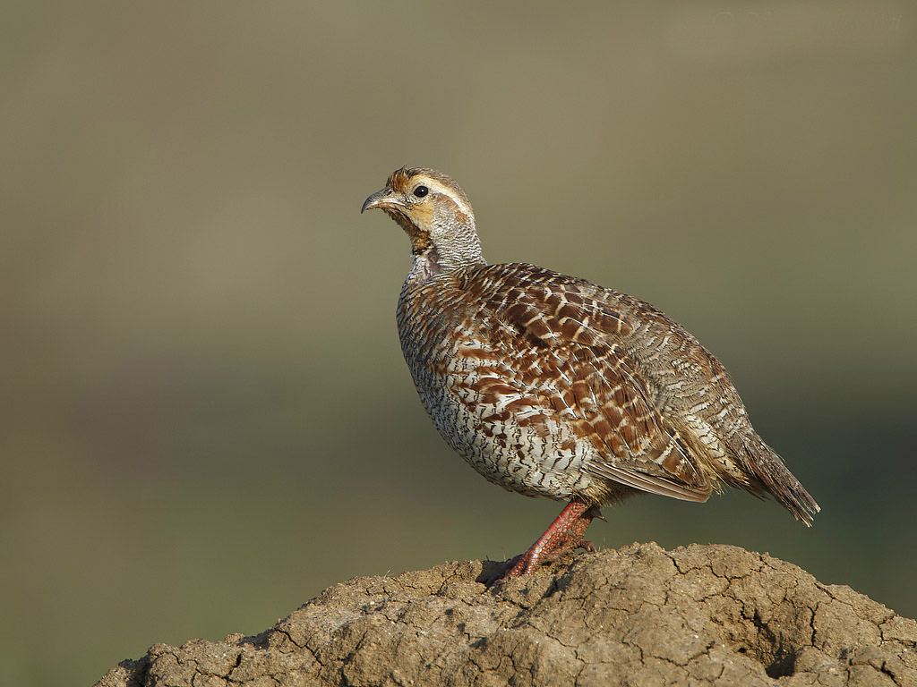 Black francolin wallpapers