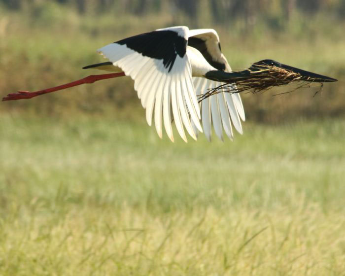 Black necked stork eating photos