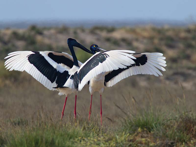 Black necked stork family photos