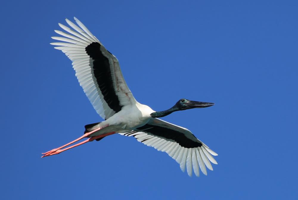 Black necked stork flying wallpapers