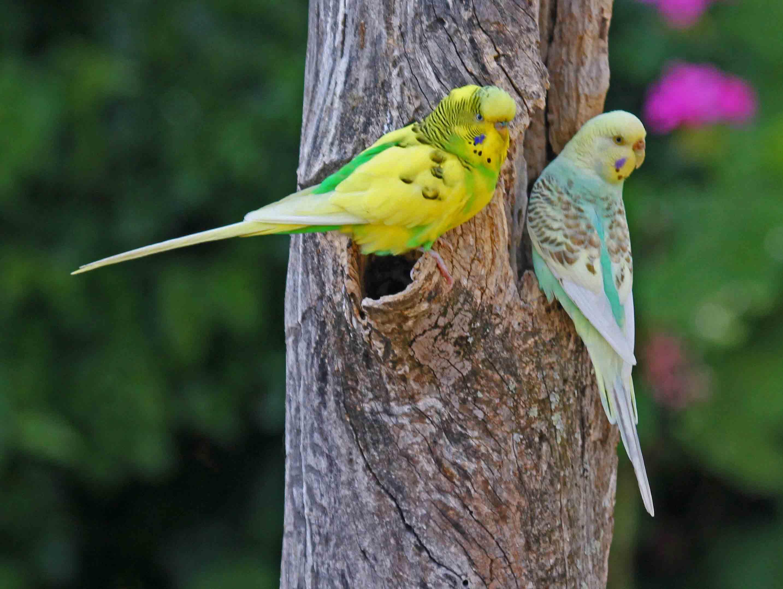 Budgerigar australian birds gallery