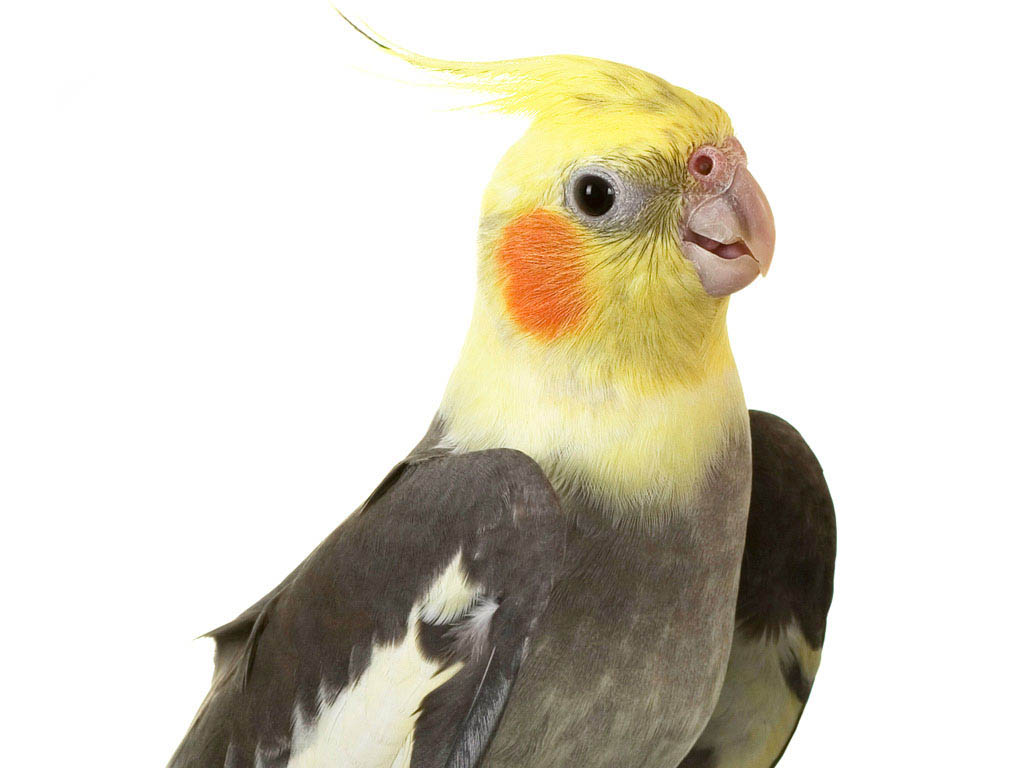 Cockatiel bird hd wallpapers
