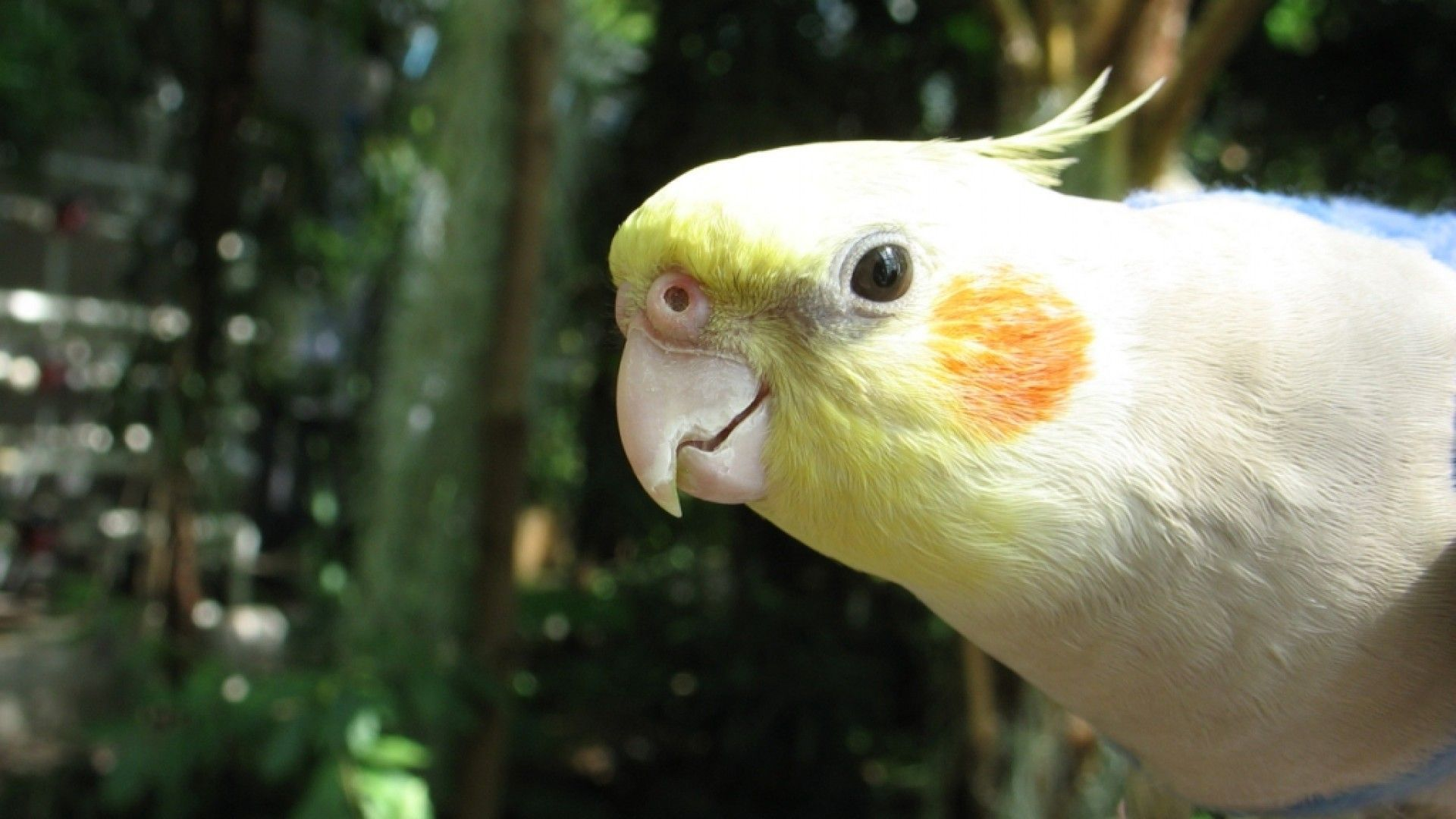 Cockatiel face photos
