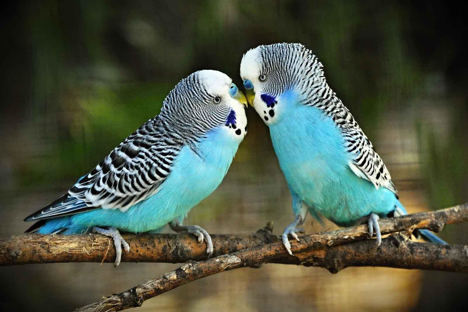 Cute budgerigar birds images