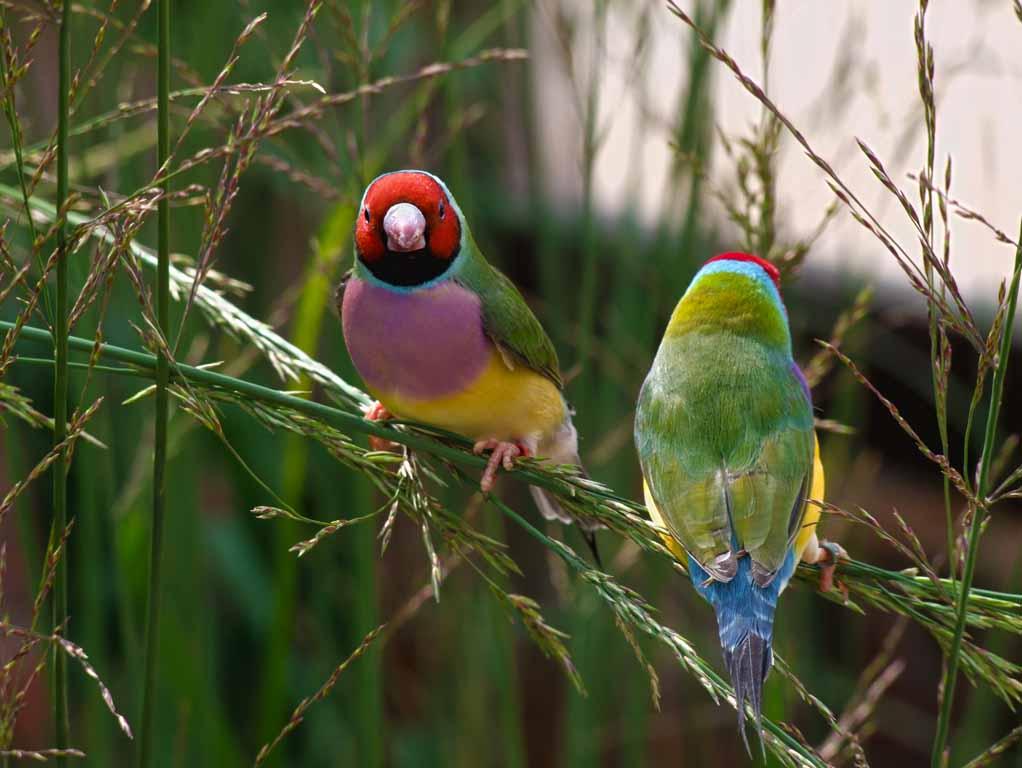 Gouldian finch australian birds gallery