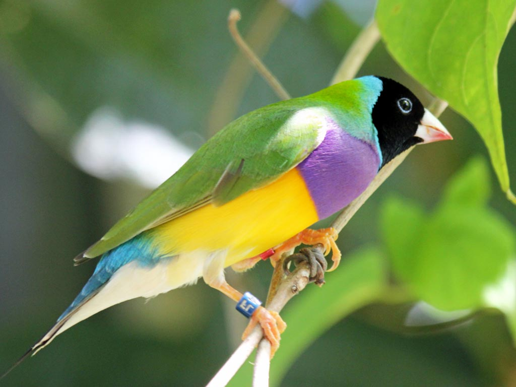 Gouldian finch photos