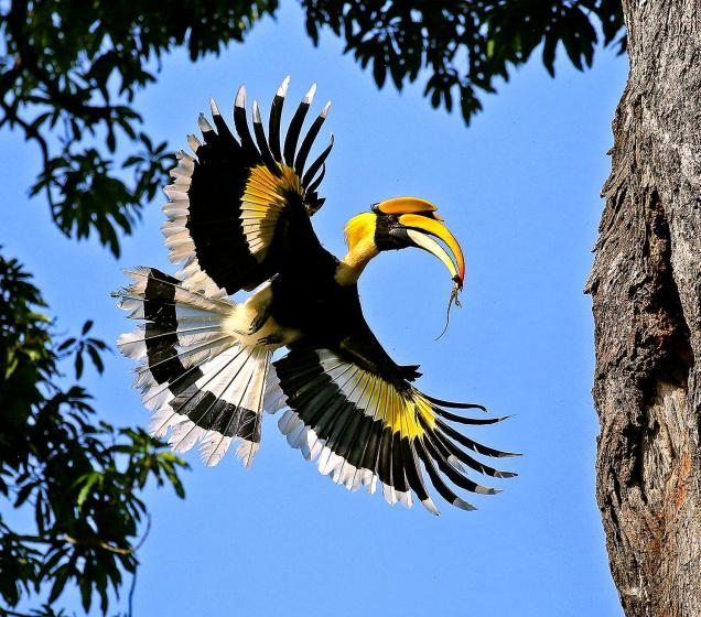 Great hornbill eating photos