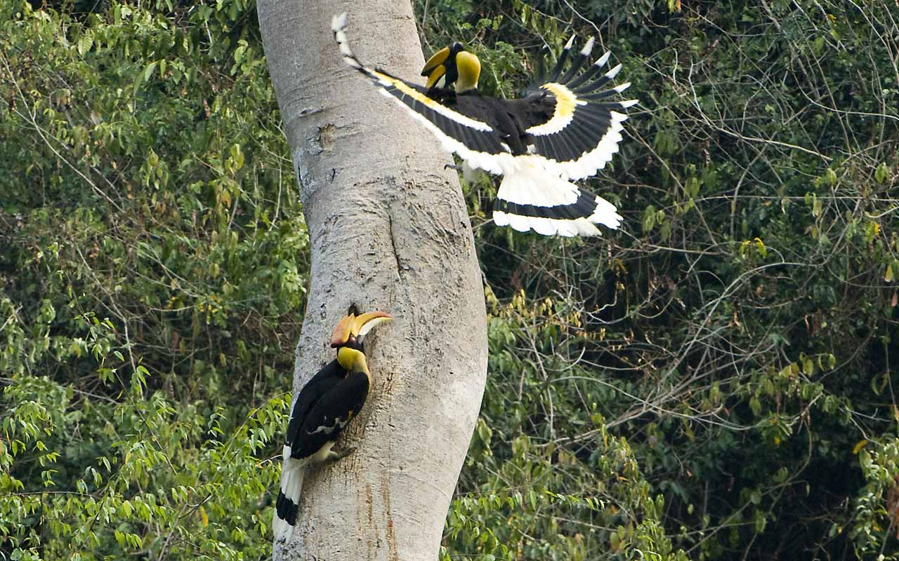 Great hornbill family photos
