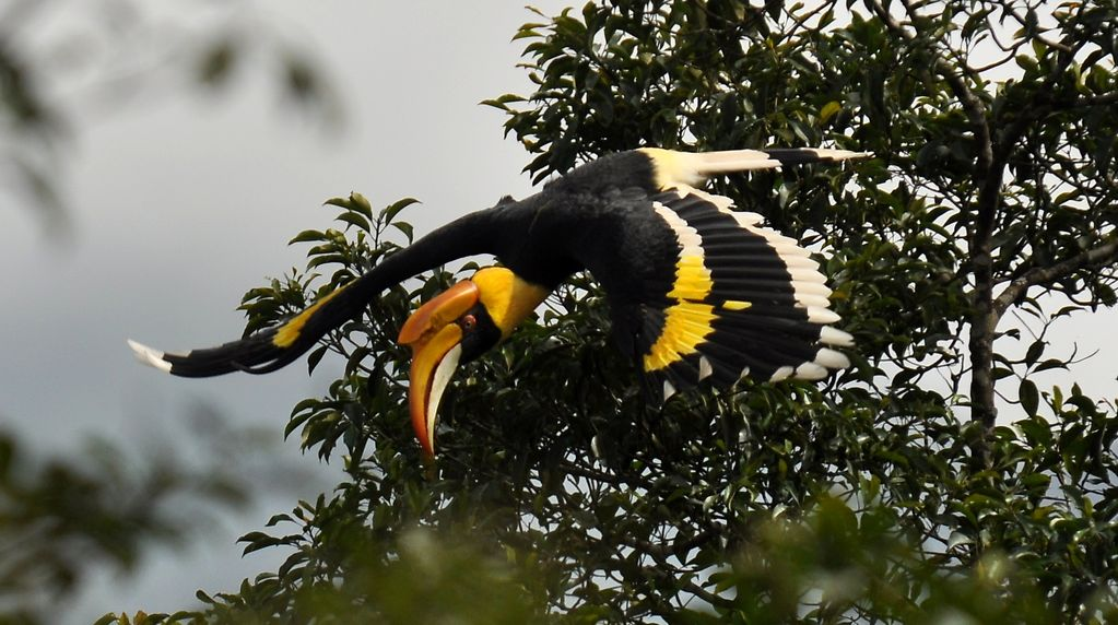 Great indian hornbill birds pictures