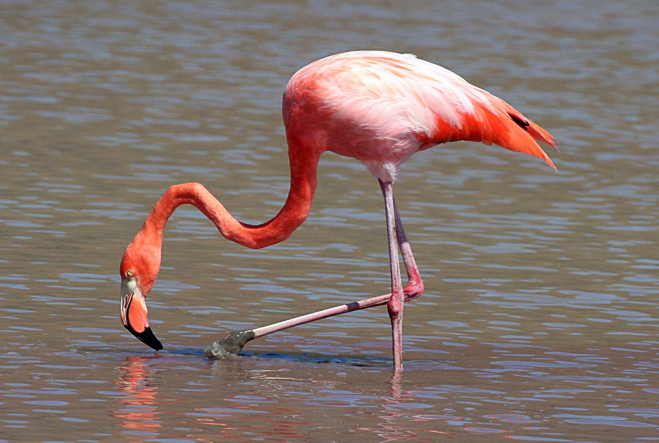 Greater flamingo birds gallery