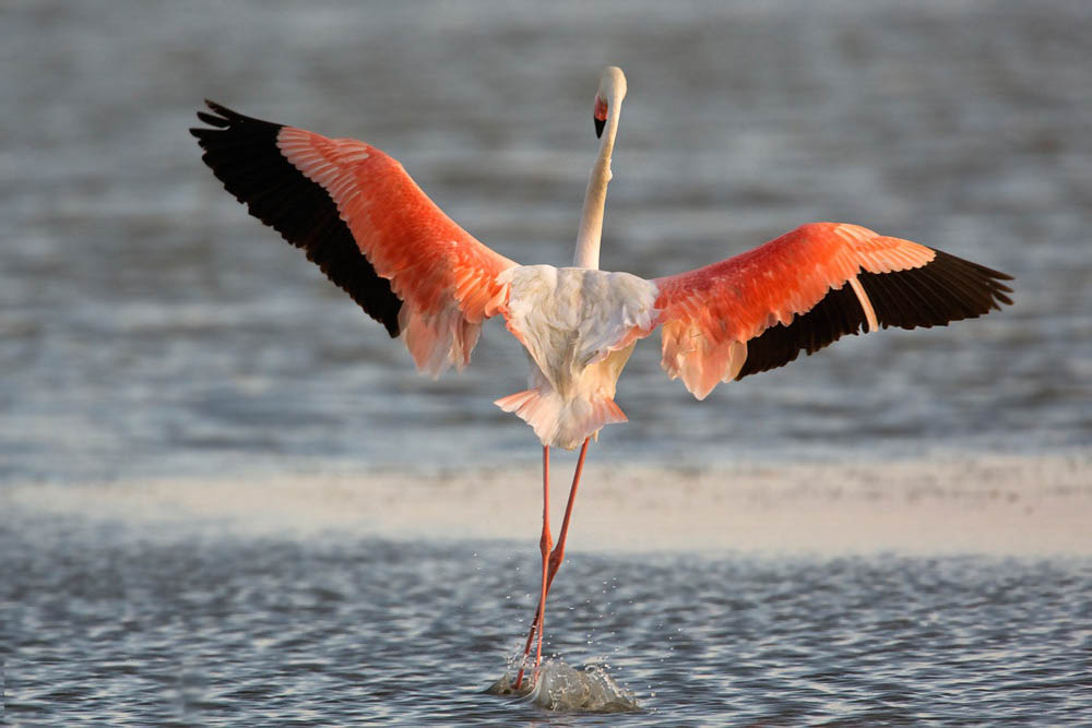 Greater flamingo flying photos