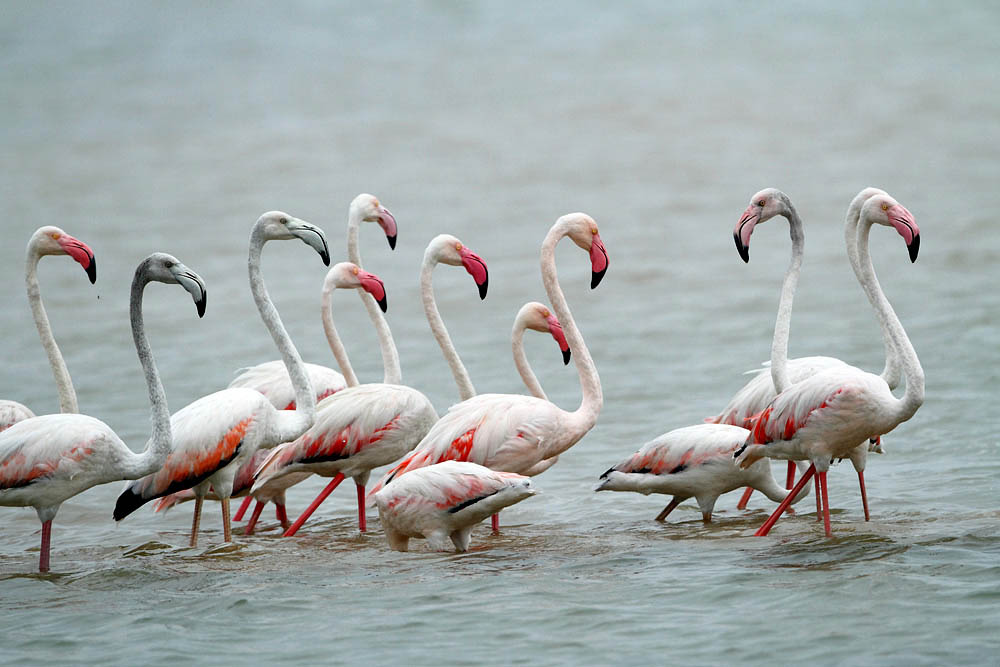 Greater flamingo group photos